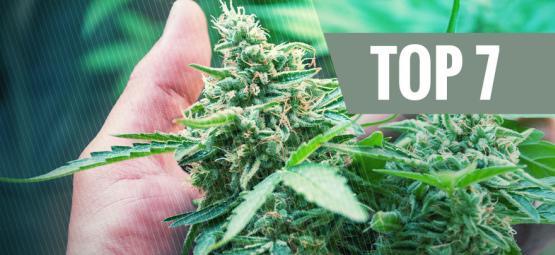 7 Causas Frecuentes De Estrés Para La Planta De Marihuana
