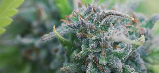 Cómo Cultivar Cannabis De Forma Orgánica En Casa