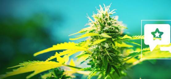 Power Flower: Análisis & Información De La Cepa De Cannabis