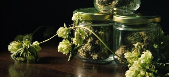 La Sorprendente Conexión Entre La Marihuana Y El Lúpulo