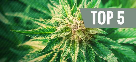 ¿Qué es el cannabis ruderalis?