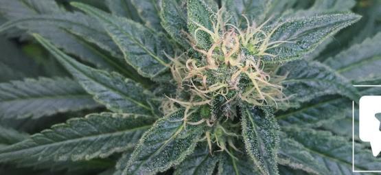 Reseña de Variedad: Royal Medic De Royal Queen Seeds
