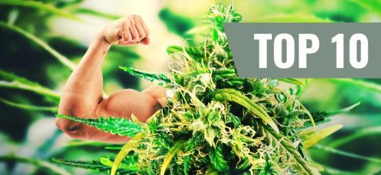 Top 10 Variedades De Marihuana Más Potentes