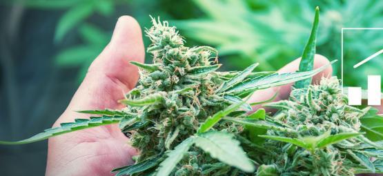 6 Formas De Aumentar La Productividad De La Marihuana