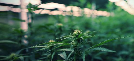 Usar luces LED para maximizar tus cosechas de marihuana