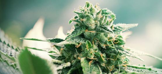 Origen De La Marihuana Haze Y Las 3 Mejores Cepas