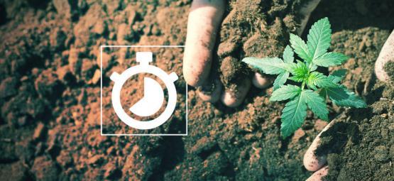 ¿Cuánto Se Tarda En Cultivar Marihuana?