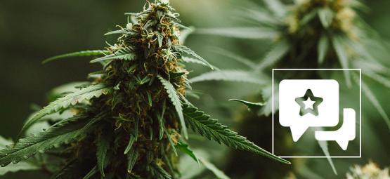 Reseña de variedad de marihuana: Power Plant