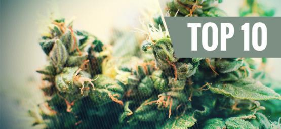 Las 10 Mejores Cepas De Cannabis Autofloreceinte
