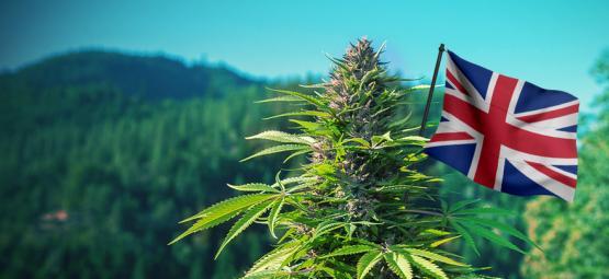 Las Mejores Cepas De Cannabis De Exterior Para Cultivar En El Reino Unido