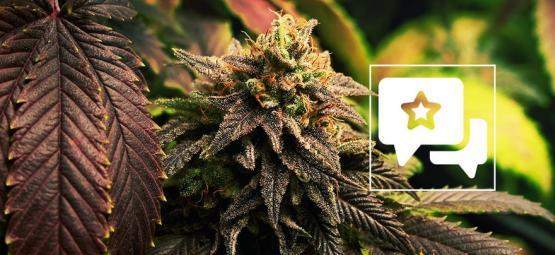 Blue Widow: Análisis & Información De La Cepa De Cannabis