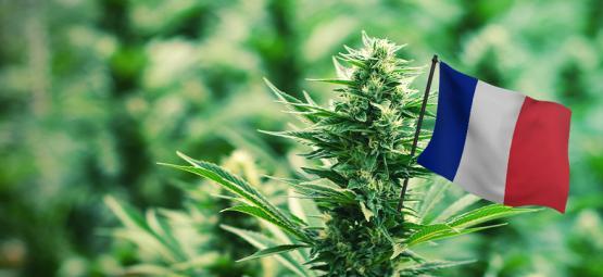Las Mejores Variedades De Cannabis Para Cultivar Exterior En Francia