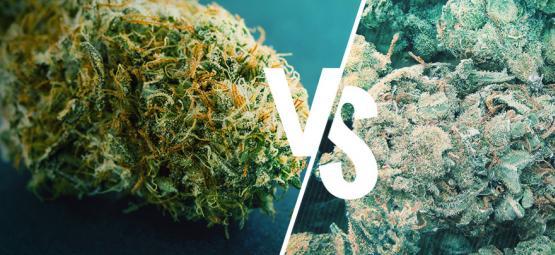 Marihuana Buena Vs Mala: Cómo Distinguirlas