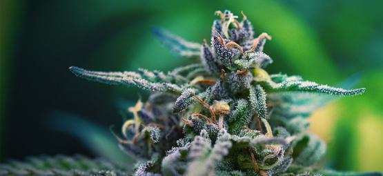 Las mejores variedades de marihuana CBD para el dolor 2017