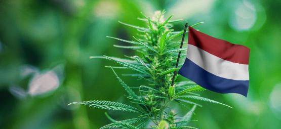 Las Mejores Cepas De Exterior Para Cultivar En Los Países Bajos