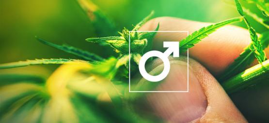 ¿Qué Hacer Con Las Plantas De Cannabis Macho?