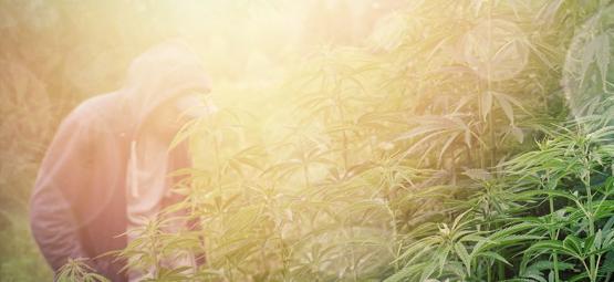Las Mejores Variedades De Marihuana Para El Cultivo De Guerrilla