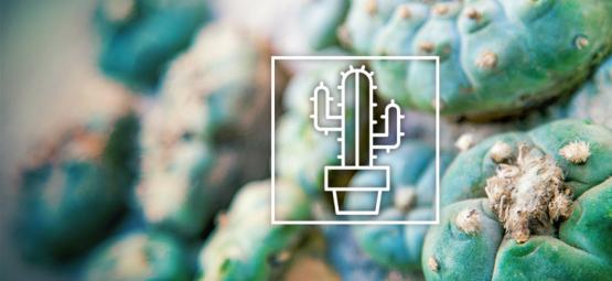 Diferentes Cactus De Mescalinas