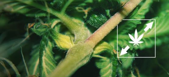 6 Formas De Reducir El Estiramiento En Las Plantas De Marihuana