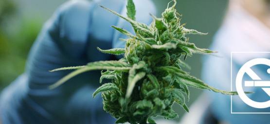 Cómo Utilizar La Marihuana Para Dejar De Fumar