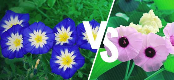 Morning Glory Vs. Hawaiian Baby Woodrose: ¿Cuál Es La Diferencia?
