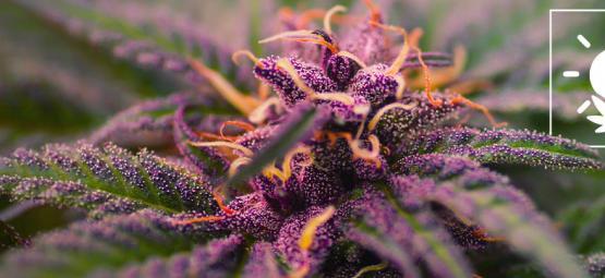 Cómo Conseguir Cogollos De Marihuana De Color Morado
