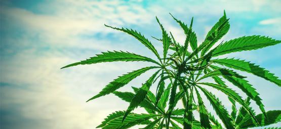 Las Mejores Semillas De Cannabis Para Cultivar En Climas Cálidos