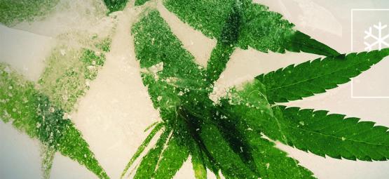 Las Mejores Semillas De Cannabis Para Cultivar En Climas Fríos
