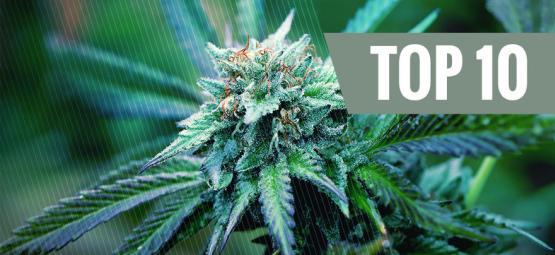 Top 10 De Variedades De Marihuana Medicinal