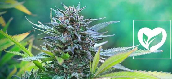 ¿Es Vegana La Marihuana?