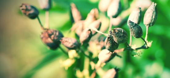 Como Cultivar Tabaco Desde Semilla