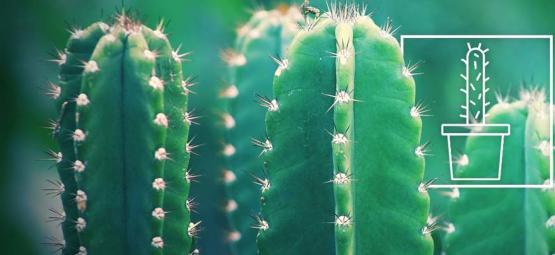 Cómo Cultivar Y Cuidar El Cactus San Pedro