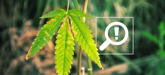 5 Problemas Que Pueden Surgir Durante La Floración Del Cannabis