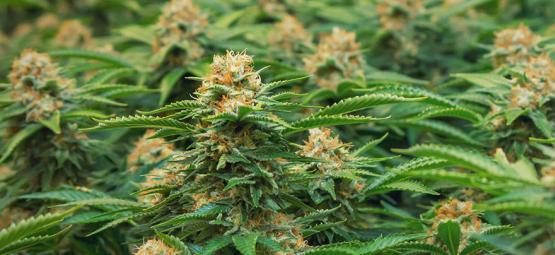 Variedades De Cannabis De Philosopher Seeds Especiales Para El Método SOG