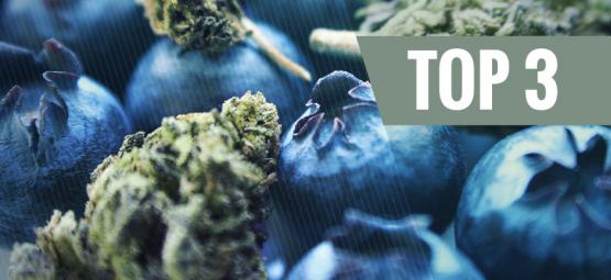 Origen De La Marihuana Blueberry Y Las 3 Mejores Cepas