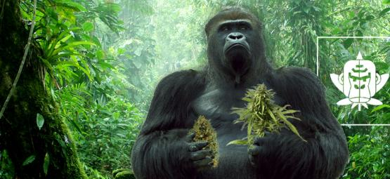 El Origen De La Marihuana Gorilla Glue Y Sus 3 Mejores Cepas