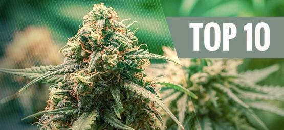 Top 10 De Variedades De Marihuana Híbridas
