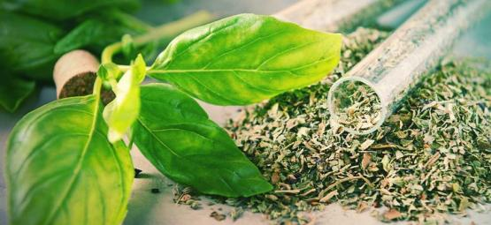 Cómo Procesar Tu Planta De Salvia Divinorum