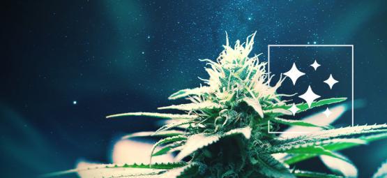 El Origen De La Northern Lights Y Las 3 Mejores Cepas De Cannabis
