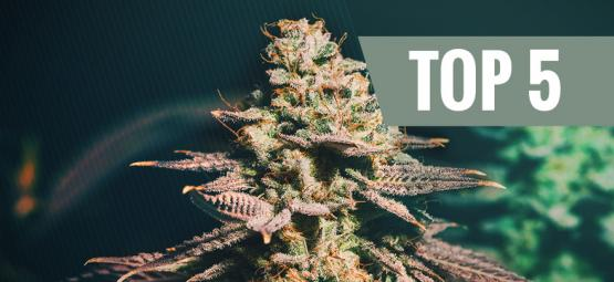 Las 5 Mejores Variedades De Cannabis Para Cultivos Tardíos