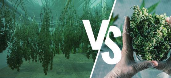 Manicura De Plantas De Cannabis En Seco O En Húmedo