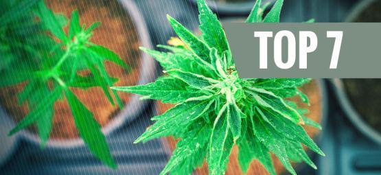 Las 7 Mejores Variedades De Marihuana Con Ratios THC:CBD Únicos