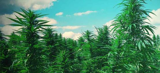 10 Consejos Para Cultivar Árboles De Marihuana