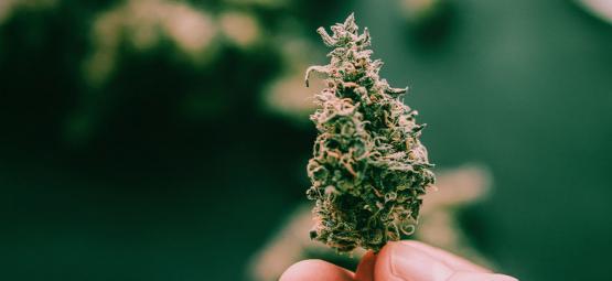 5 Variedades Pegajosas De Cannabis