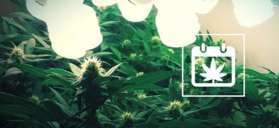 Cómo Conseguir 6 Cosechas De Cannabis Al Año