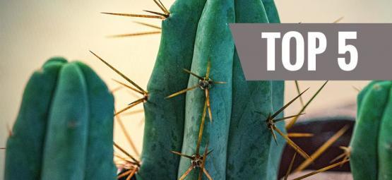 Top 5 Cactus De Mescalina