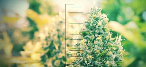 Top 10 De Plantas De Cannabis Compactas