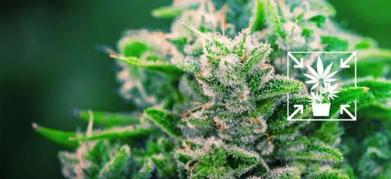 Cómo Cultivar Plantas De Cannabis Pequeñas Y Compactas