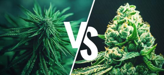 Cannabis Indica vs. Cannabis Sativa: ¡Mitos Desmentidos!