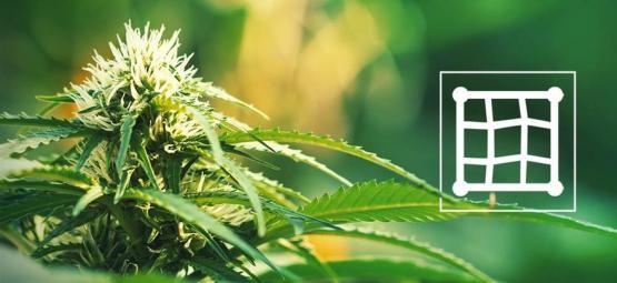 Las Mejores Variedades De Cannabis Para El Método Screen Of Green (ScrOG)